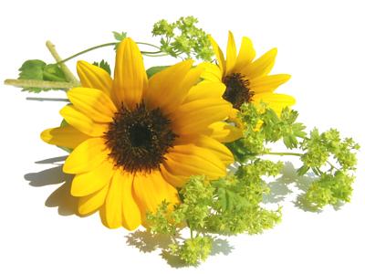 Sunflower_03