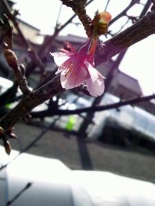 Sakura_copy